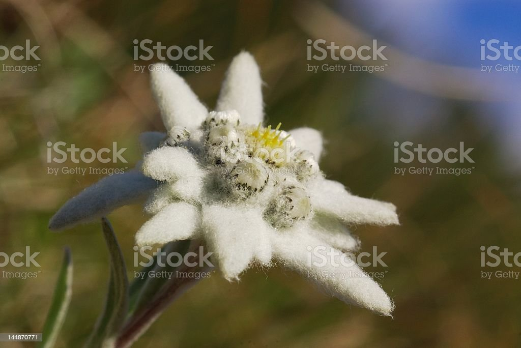 Wild edelweiss close royalty-free stock photo