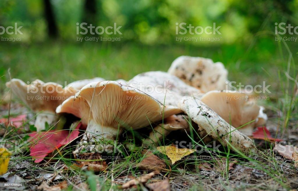 Wild Edible Mushrooms in City Park stock photo