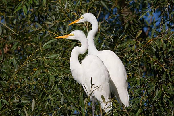 wild egrets pair - balıkçıl stok fotoğraflar ve resimler