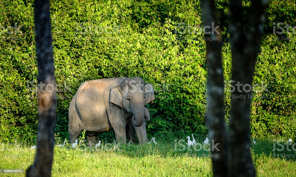 Wild Elephant  in forest in Thailand. – Foto