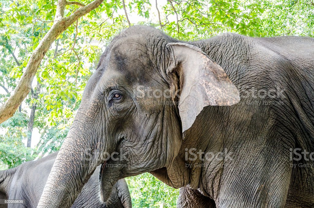 Wild Elephant In Thailand Symbol Of Nation Stock Photo More