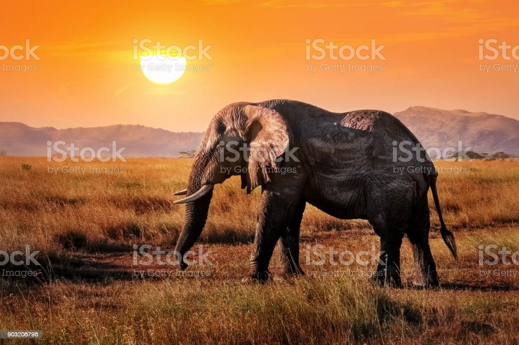 Wild elephant in the African savanna against the background of a beautiful orange sunset. Serengeti National Park. stock photo