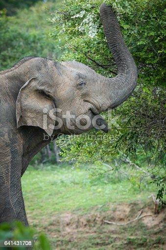 istock wild elephant 641431708