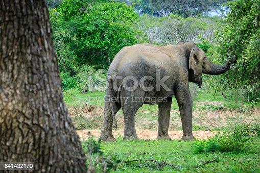 istock wild elephant 641432170
