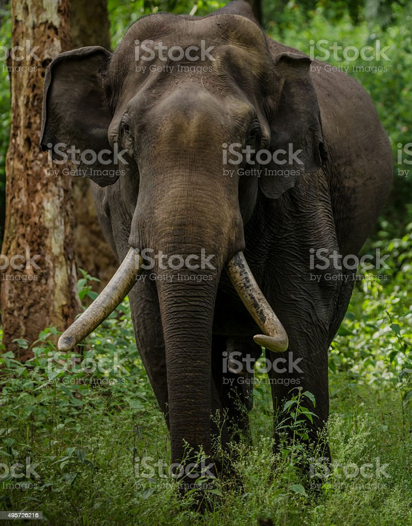Wild elephant portrait stock photo