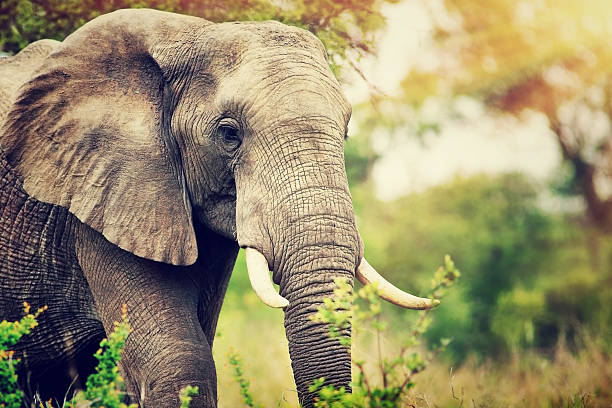 wild elephant portrait - animals in the wild stock pictures, royalty-free photos & images
