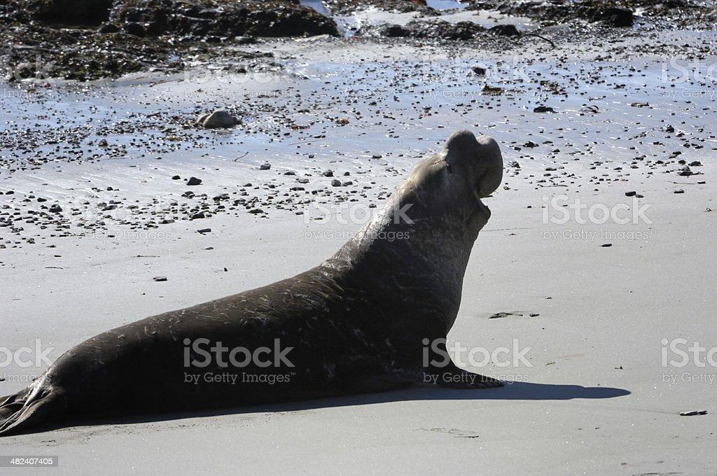 Wild Elephant Seal on Sandy Beach royalty-free stock photo