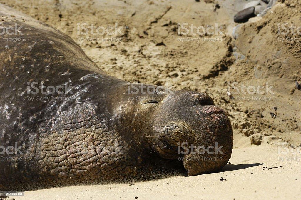 Wild Elephant Seal Resting on Sandy Beach royalty-free stock photo