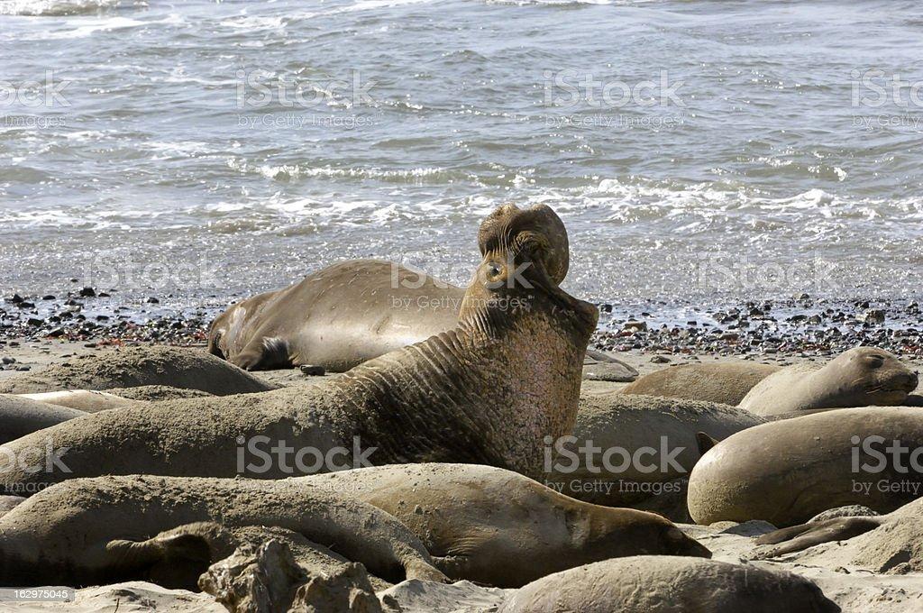 Wild Elephant Seals on Sandy Beach royalty-free stock photo