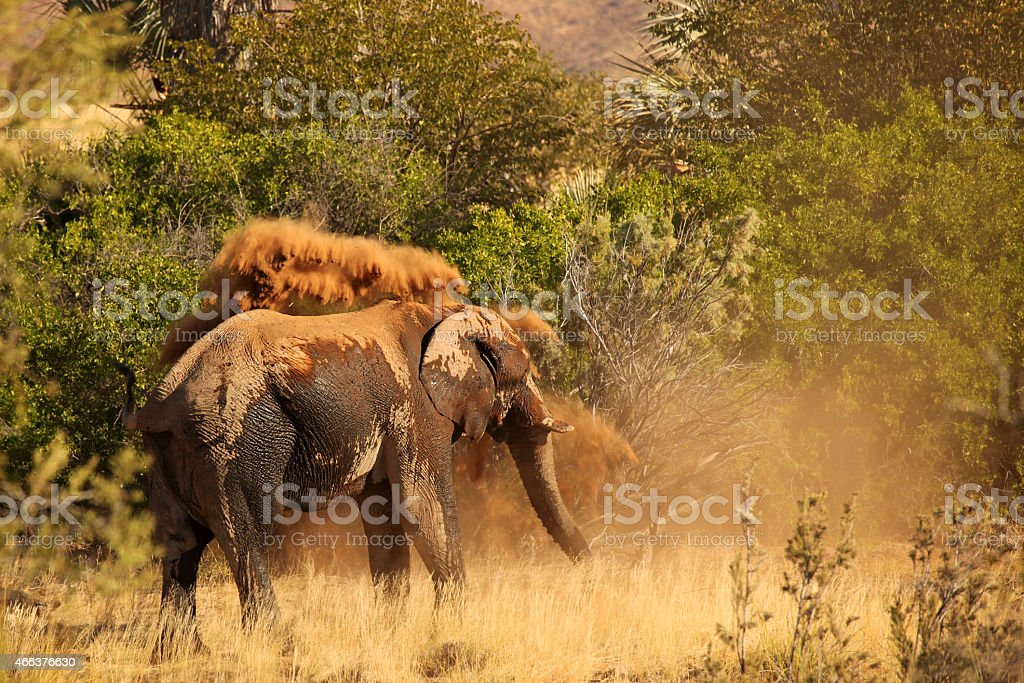 Wild Elephant Throwing Sand on Itself on Safari in Africa stock photo