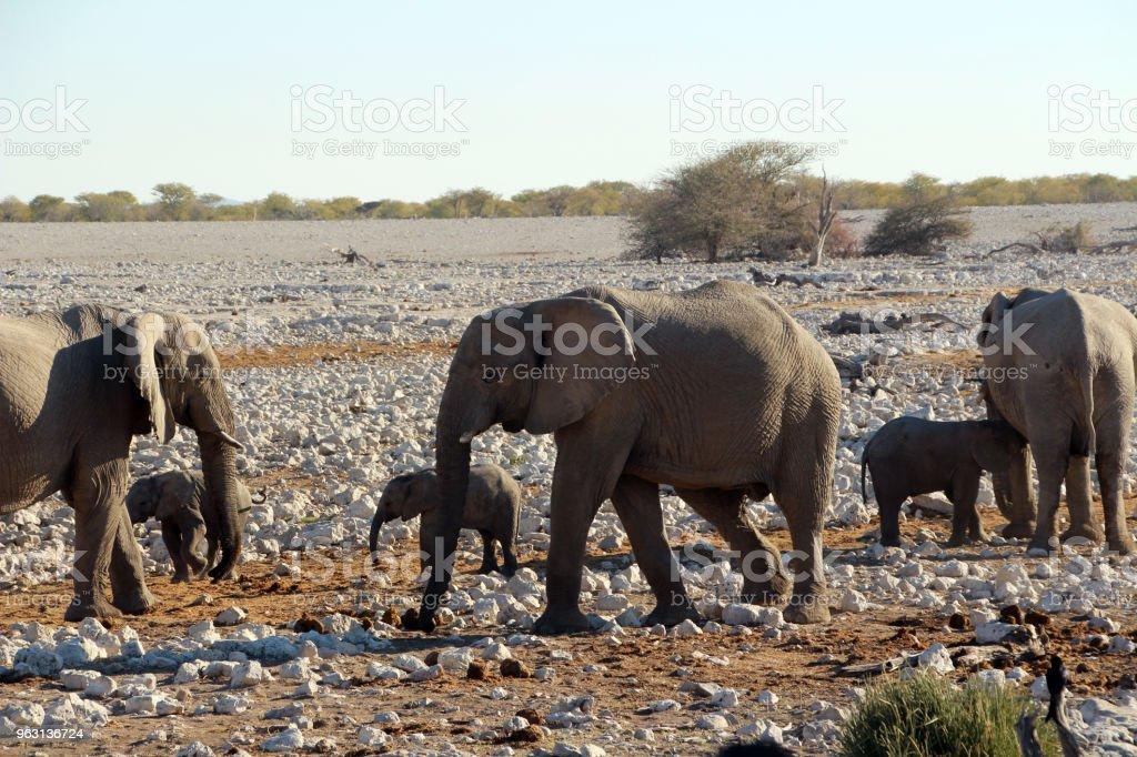 Vilda elefanter på savannen i Afrika Namibia - Royaltyfri Afrika Bildbanksbilder