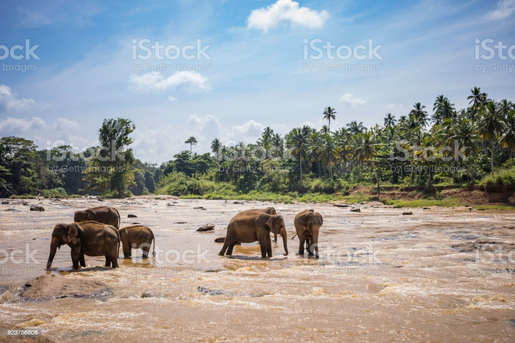 wild elephants wades in the river for bathing stock photo