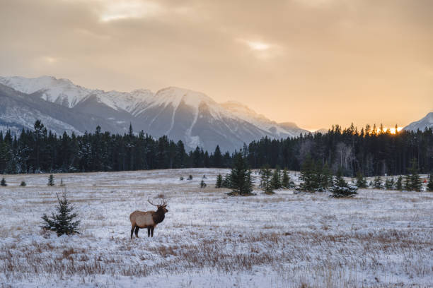 Wild elk in the Banff National Park stock photo