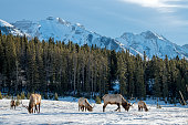Wild Elk or also known as Wapiti (Cervus canadensis) in the winter snowfall in Banff National Park, Alberta, Canada