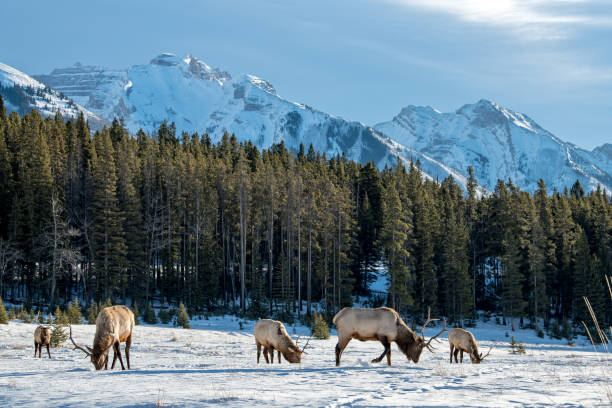 Wild Elk or also known as Wapiti (Cervus canadensis) in the winter snowfall in Banff National Park, Alberta, Canada Wild Elk or also known as Wapiti (Cervus canadensis) in the winter snowfall in Banff National Park, Alberta, Canada red deer animal stock pictures, royalty-free photos & images