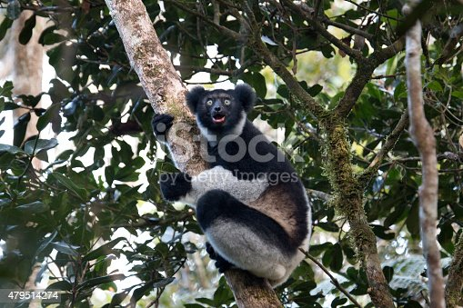 A critically endangered black and white, wild indri lemur with his mouth open and leaves in his left hand perches on a tree and eats leaves in the rainforest canopy in Mantidia - Andasibe National Park, also known by Perinet in the eastern rainforest of Madagascar.