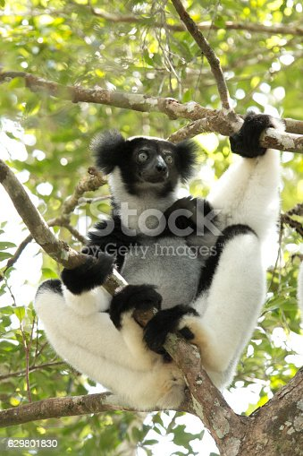 Critically endangered, a black and white, wild indri while sitting in the crux of a tree looks into the rainforest canopy in Mantidia - Andasibe National Park, also known by Perinet in the eastern rainforest of Madagascar.