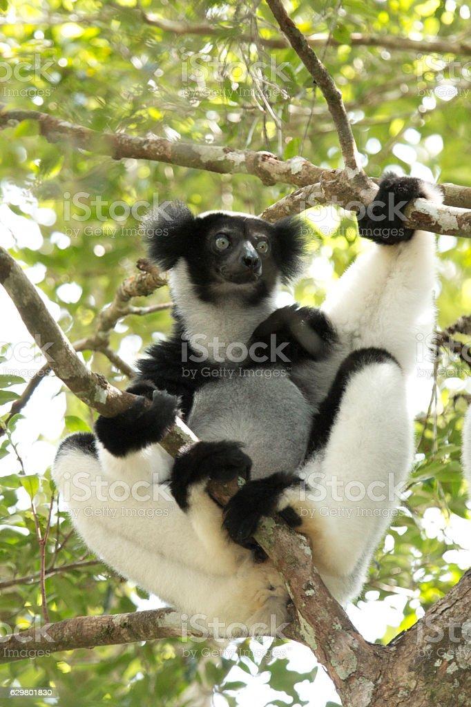 Wild endangered Madagascar Indri rainforest canopy Perinet Andasibe National Park stock photo