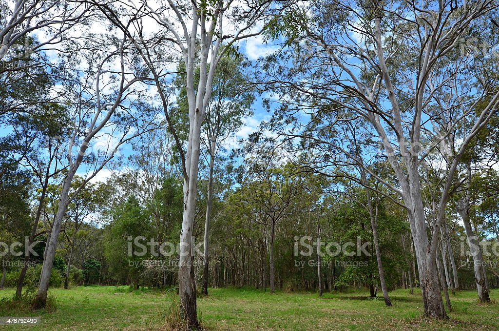Wild eucalyptus tree forest stock photo