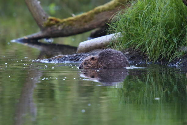Wild european beaver in the beautiful nature habitat in Czech Republic stock photo
