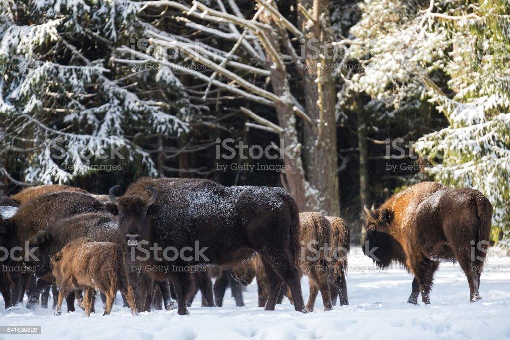 Wild European Brown Bison ( Bison Bonasus ). Majestic Powerful Adult Aurochs ( Wisent ) In Winter Forest, Belarus. Female Of Brown Bison ( Bison Bonasus )  Standing On The Background Of Common Herd stock photo