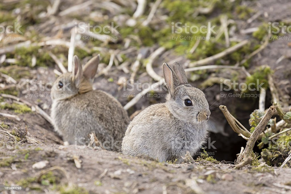 Wild European rabbits stock photo