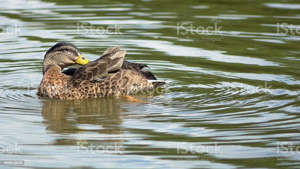 Wild female duck washing herself in the pond stock photo