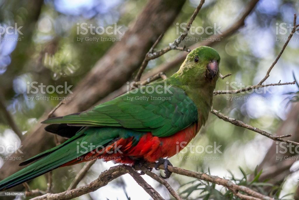 Wild Female King Parrot, Queen Mary Falls, Queensland, Australia, March 2018 stock photo