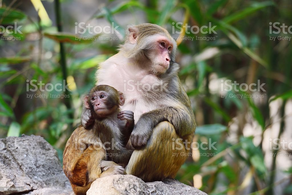 Wild female monkey and its baby in the sun 05 stock photo