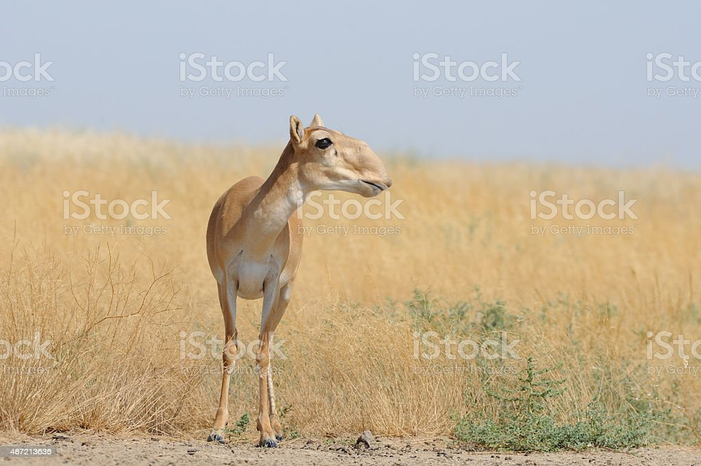 Wild female Saiga antelope in Kalmykia steppe stock photo