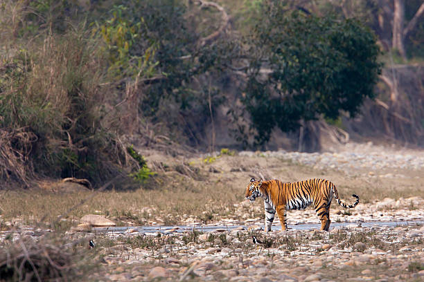 wild female tiger specie Panthera tigris in Nepal Bardia National Park, Teraî, Nepal wildlife reserve stock pictures, royalty-free photos & images