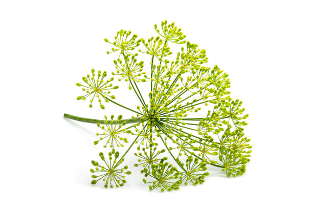 Wild fennel flower isolated Wild fennel flower isolated on white background. fennel stock pictures, royalty-free photos & images