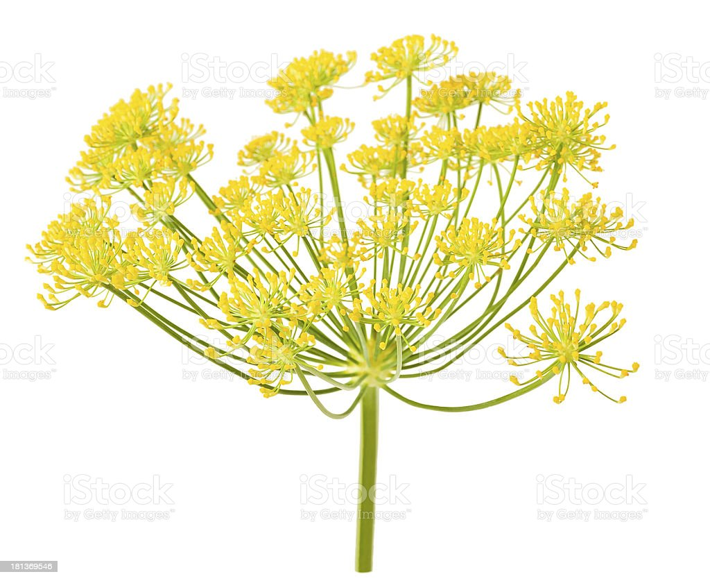 Wild fennel flowers stock photo