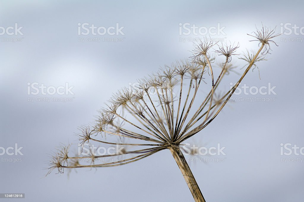 wild fennel royalty-free stock photo