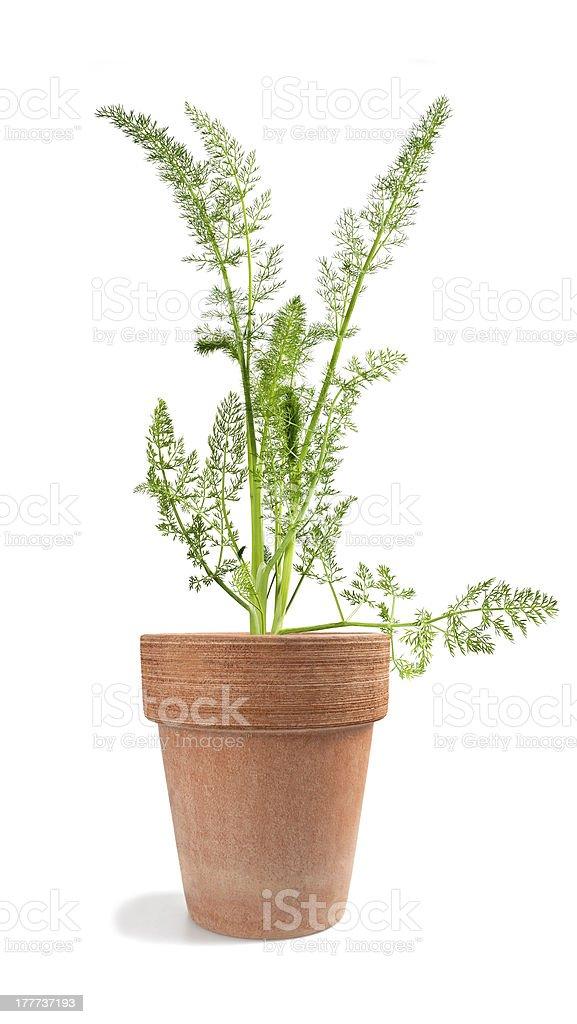 Wild fennel royalty-free stock photo
