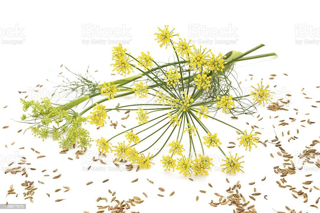 Wild fennel stock photo
