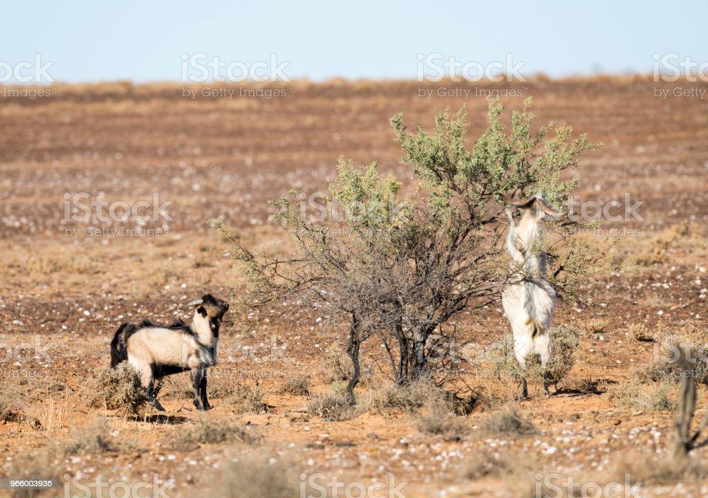 wilde wilde geiten - Royalty-free Australische outback Stockfoto