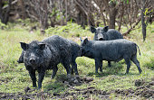 wild feral pigs