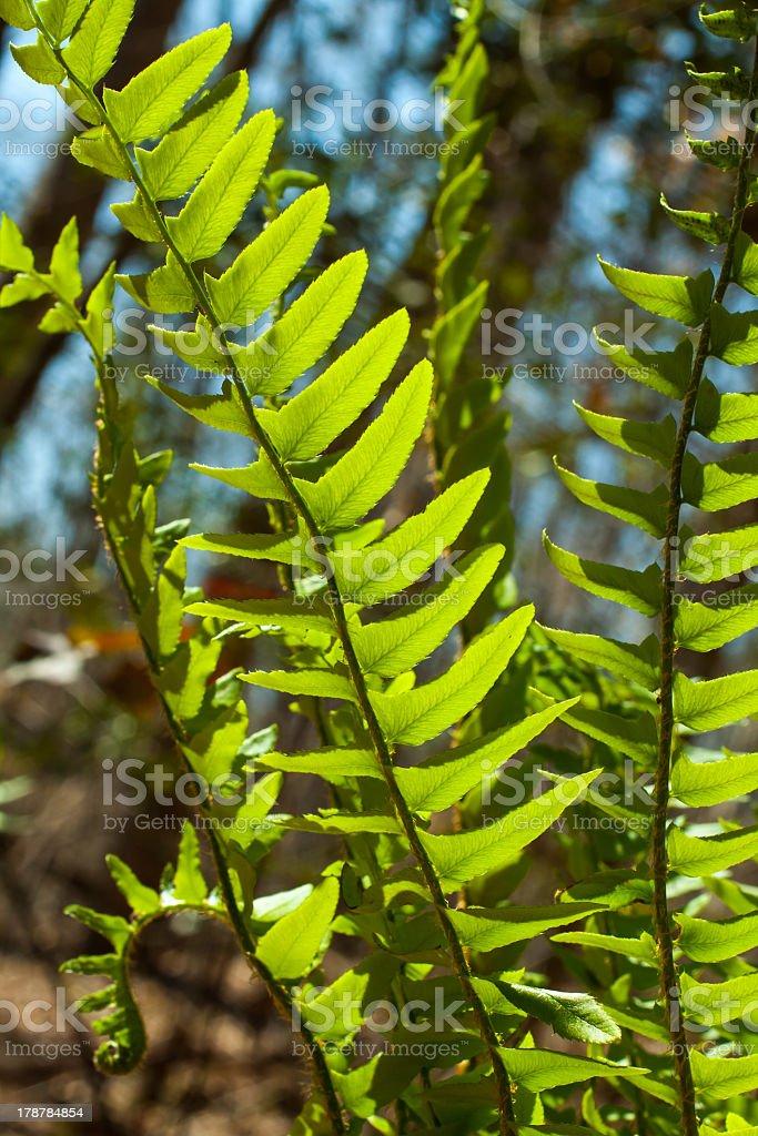 wild fern royalty-free stock photo