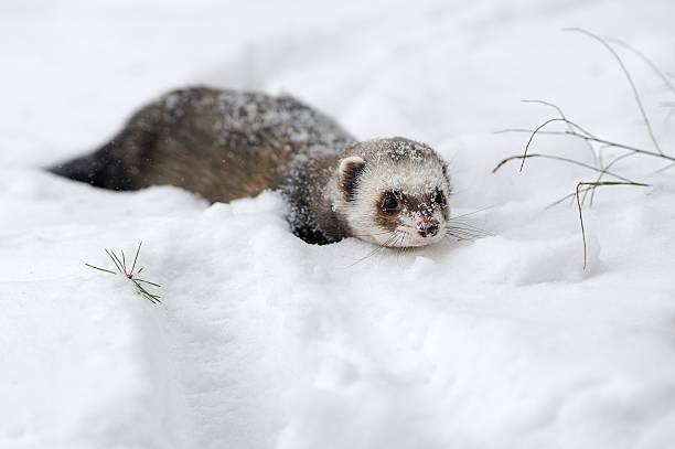 wild frettchen im schnee - frettchen haltung stock-fotos und bilder
