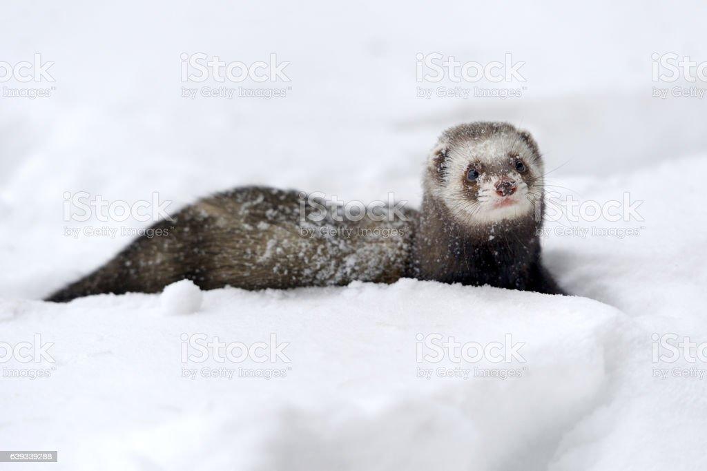 Wild ferret in snow stock photo