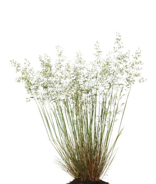 Wild fescue grass stock photo