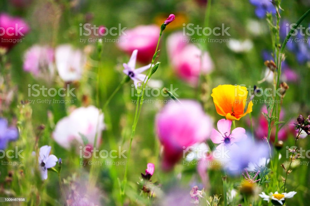 Wild field flowers - Royalty-free Agricultural Field Stock Photo