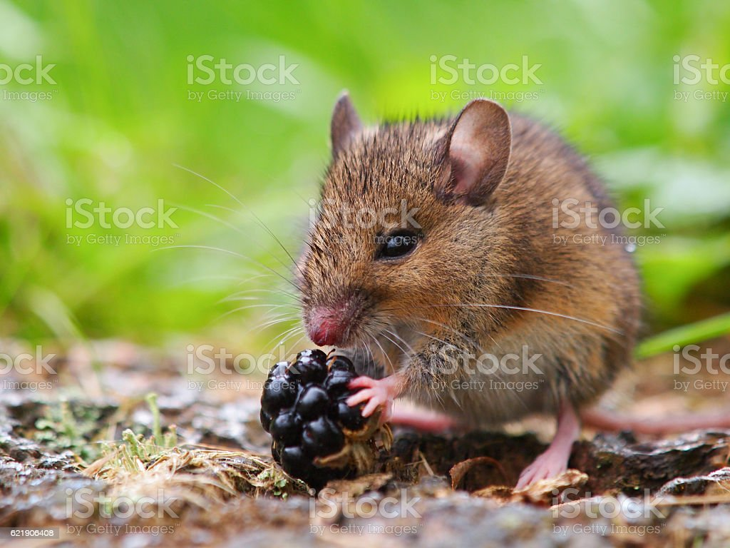 Wild field mouse eating blackberry stock photo