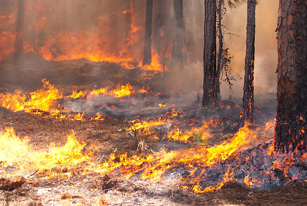 A wild fire spreading through a forest A forest fire creeping along the ground. smoke jumper stock pictures, royalty-free photos & images