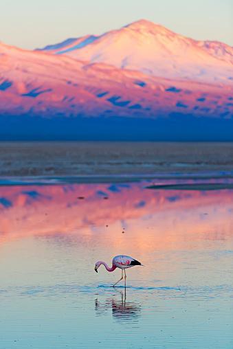 Wild Flamingo stands in a salt lagoon of Atacama desert, Chile
