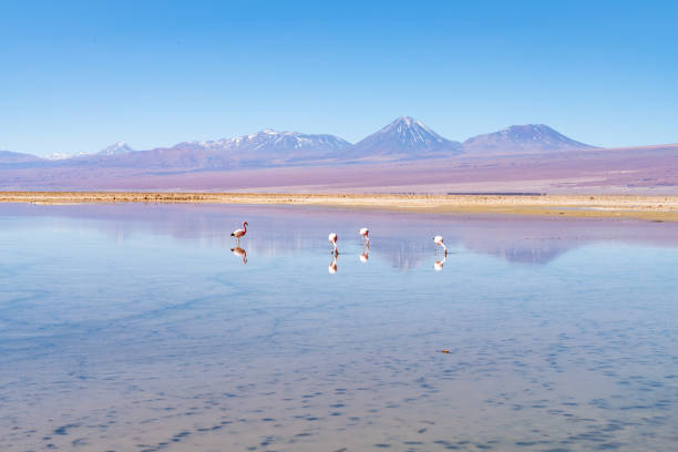 Wild Flamingos at Laguna Chaxa Park - San Pedro de Atacama, Antofagasta Region, Chile stock photo