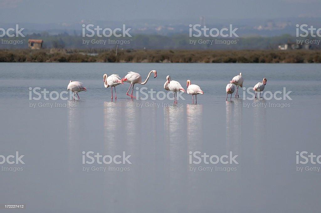 Wild flamingos in Camargue royalty-free stock photo