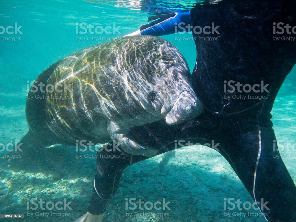 Wild Florida Manatee, interacting with snorkeler royalty-free stock photo
