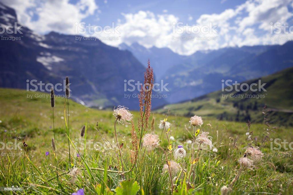 Wild Flower Alpine Meadow. stock photo